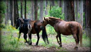 NSW Government Will Kill & Cut the Number of Wild Horses from 6K to 6 Hundred
